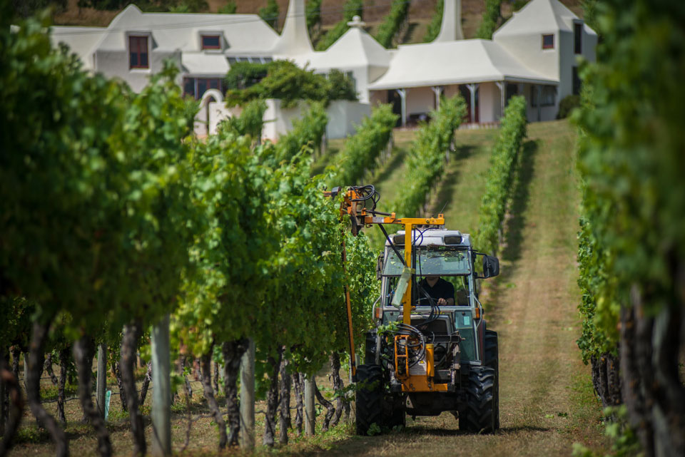 Vine trimming at  Te Mata Estate