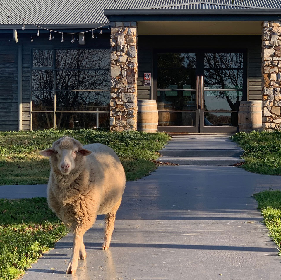 Lake George Winery's pet 'dog' is a sheep called Harry.