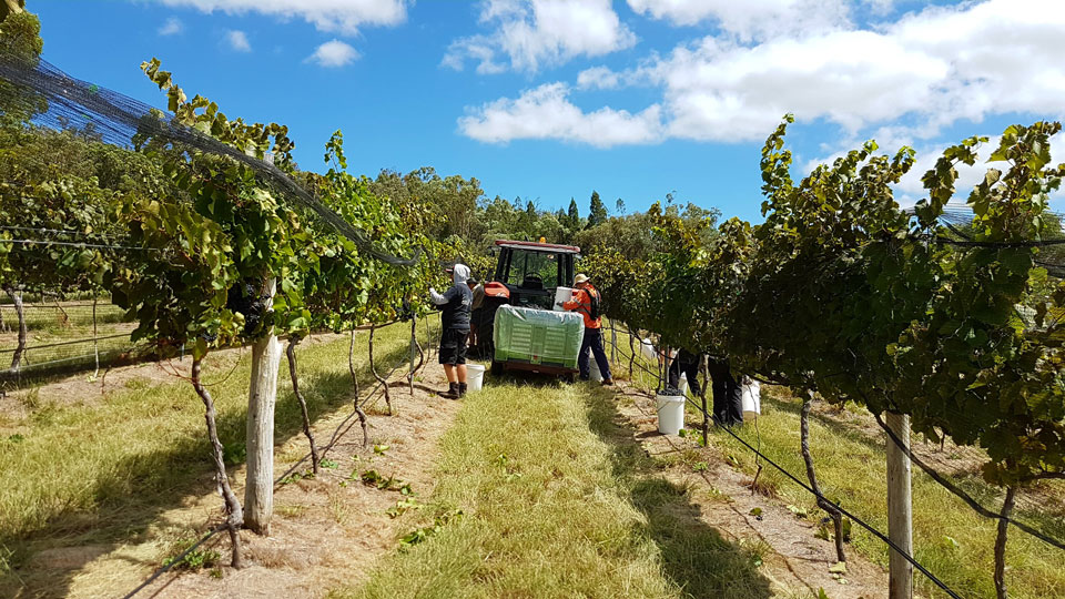 Harvest in the Bent Road vineyard.