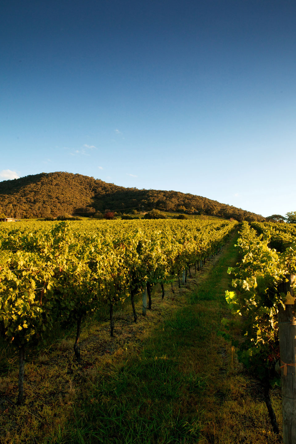 the Warramate vineyards at Yarra Yering.
